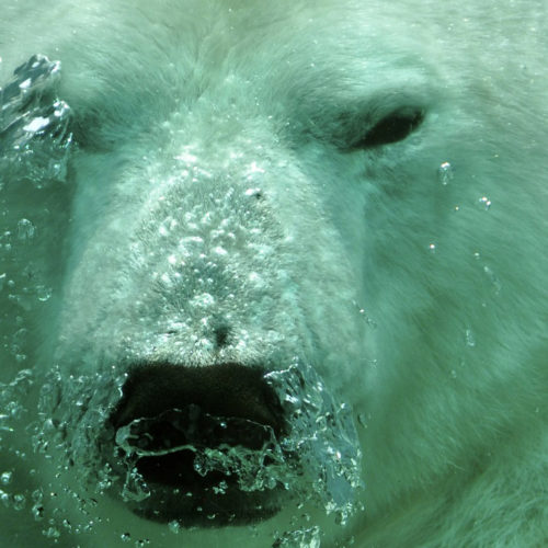 It is a polar bear, who knew.
